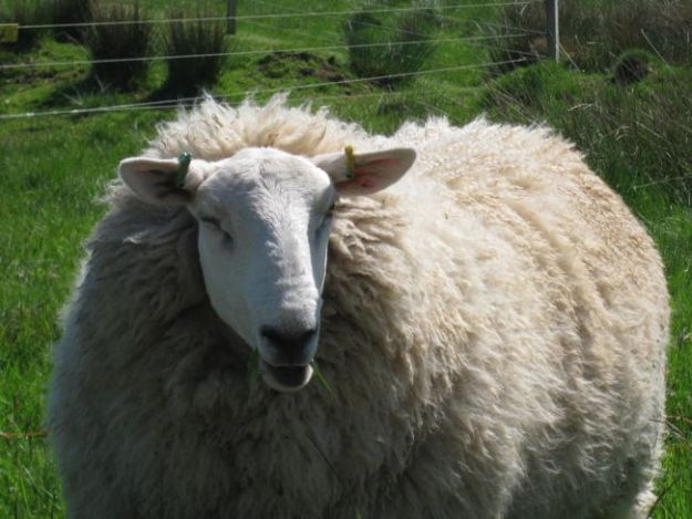 Sometimes we were closely watched. While the rest of the flock was on the other side of the fence, this sheep was enjoying the greener grass on the trail side.